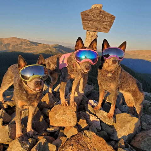 Australian Cattle Dogs Wearing Rex Specs Dog Goggles on top of a peak