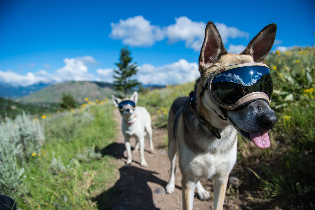 766e37a894 5 Reasons Your Dog Needs Eye Protection – Rex Specs