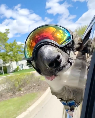 Brodie the Best Boy with his head out car window wearing Rex Specs Dog Goggles