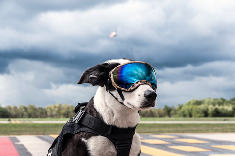 Piper Airport K9 goes viral in his dog goggles