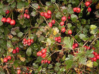 Hawthorne Berry Whole Bulk by the Ounce