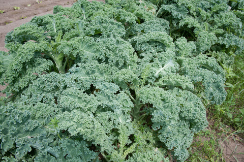 Kale Powder Bulk By The Ounce