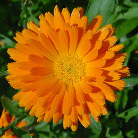 Calendula Flower Cut And Sifted  Bulk By The Ounce