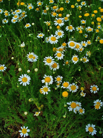 Chamomile Flowers Whole by the Ounce