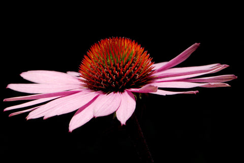 Echinacea ANG. Root PowderBulk By The Ounce