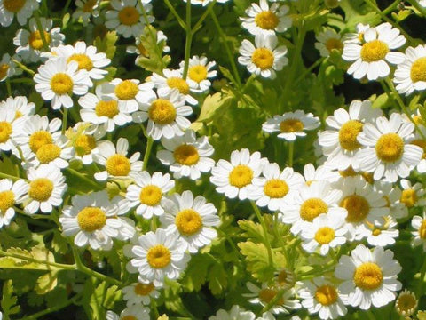 Feverfew Cut And Sifted Bulk By The Ounce