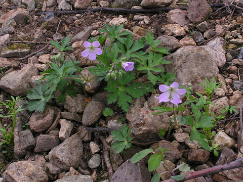 Cransbill Root Powder  Bulk By The Ounce