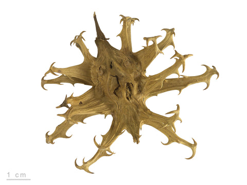 Devils Claw Root Cut And Sifted Bulk By The Ounce