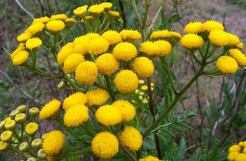 Tansy Cut And Sifted Bulk By The Ounce