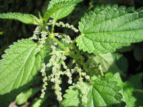 Nettle Root ( Stinging) Powder  Bulk By The Ounce