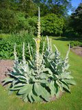 Mullein Flower Whole  Bulk By The Ounce