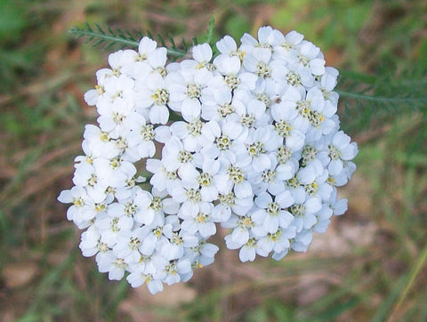 Yarrow Flowers Powder Bulk By The Ounce