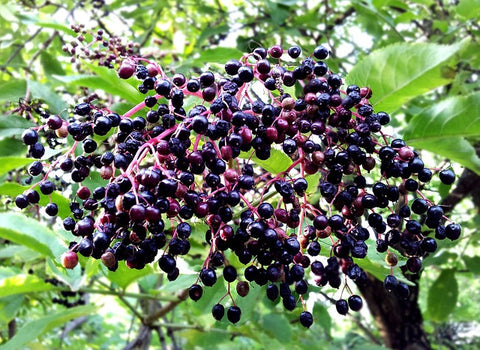Elderberry Whole Bulk By The Ounce