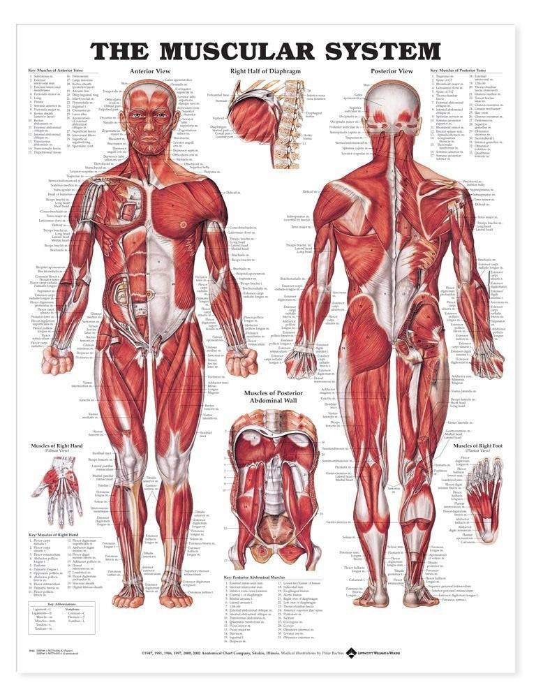 Anatomical Charts - Laminated - PTconnect