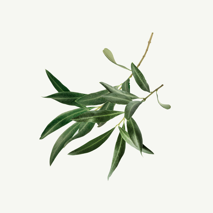 Product image of Olive Leaf