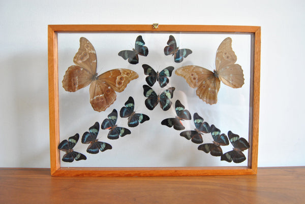 Large Shadowbox of Framed Butterfly Specimens in Blue and Orange
