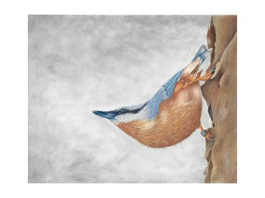 The Nuthatch by Patsy Deal Colored Pencils e-packet