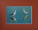 American Avocet 8X10 Matted Photo Birds Wildlife Bear River Bird Refuge