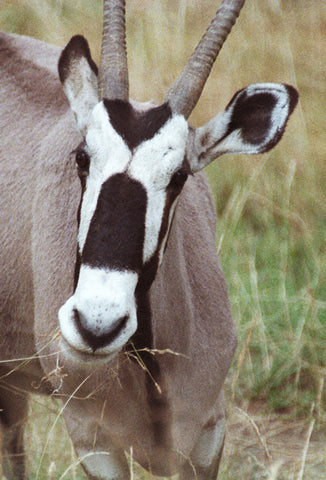 Antelope Face 8X10 Matted Photo African Gemsbok Wildlife