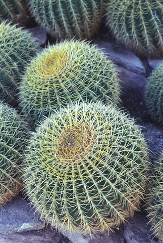 Barrel Cactus 8X10 Matted Photo Southwest Boyce Thompson Arboretum