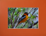 Bullock's Oriole 8X10 Matted Photo Birds Wildlife