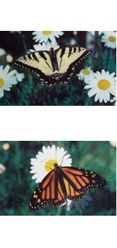 Swallowtail Butterfly Bookmark Monarch Wildlife Insects Pollinators Garden Beauty