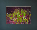 Cobra Colony 8X10 Matted Photo Carnivorous Pitcher Plants Cobra Lilies Darlingtonia