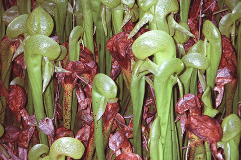 Cobra Lilies 8X10 Matted Photo Carnivorous Pitcher Plants Darlingtonia