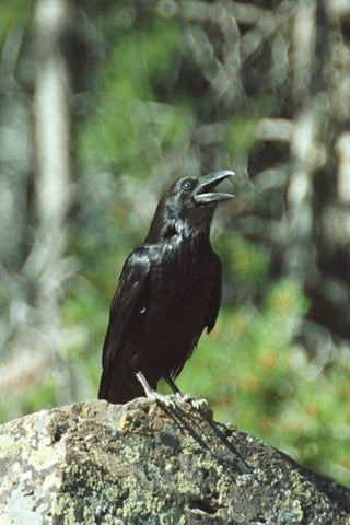Crow the Creator 8X10 Matted Photo Birds Wildlife Yellowstone Native American Motif Myth