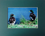 Duck Talk 8X10 Matted Photo Water Fowl Birds Wildlife Mallards Humorous