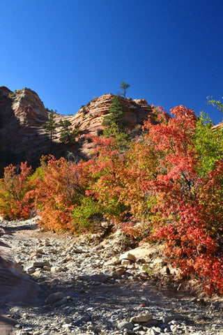 Fall in the Canyon 8X10 Matted Photo Southwest Zion National Park