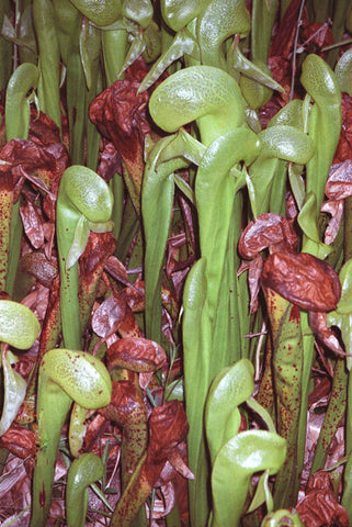 Feasting Faces 8X10 Matted Photo Carnivorous Pitcher Plants Cobra Lilies Darlingtonia