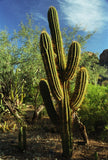 Glowing Cactus 8X10 Matted Photo Southwest Boyce Thompson Arboretum