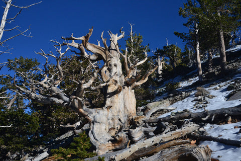 Gnarly 8X10 Matted Photo Southwest Bristlecone Pine Trail Great Basin National Park