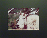 Smiley Goat 8X10 Matted Photo Wildlife Mountain Goat Glacier National Park