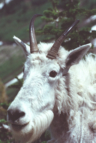 Goatface 8X10 Matted Photo Wildlife Mountain Goat Glacier National Park