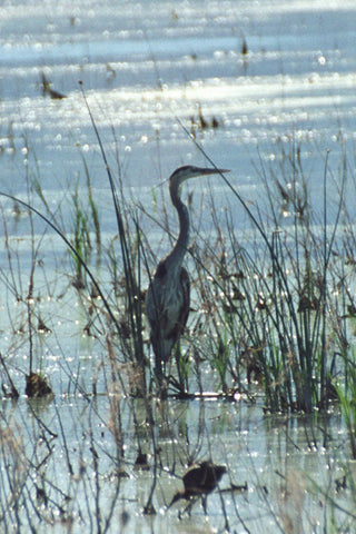 Great Blue Heron 8X10 Matted Photo Birds Wildlife Bear River Bird Refuge