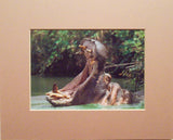 Hippo Yawning 8X10 Matted Photo Wildlife Hippopotamus Humorous