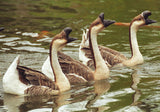 In Synch 8X10 Matted Photo Wildlife Water Fowl Swan Geese Humorous