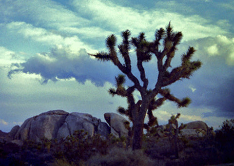 Joshua Silhouette 8X10 Matted Photo Southwest Joshua Tree National Park