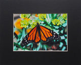 Monarch on Green 8X10 Matted Photo Butterflies Wildlife Gardens
