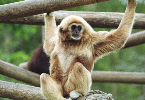 Monkey Contemplation 8X10 Matted Photo Wildlife White-Handed Gibbon