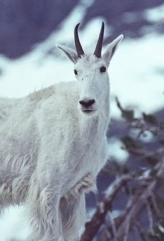 Mountain Goat Magic 8X10 Matted Photo Wildlife Glacier National Park