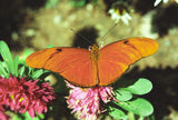 Orange Julia Butterfly 8X10 Matted Photo Butterflies Wildlife