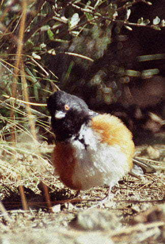 Out of Alignment 8X10 Matted Photo Birds Wildlife Spotted Towhee Humorous
