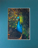 Peacock Splendor 8X10 Matted Photo Birds Wildlife