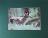 Pronghorn Solo 8X10 Matted Photo Yellowstone Wildlife Buck