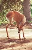 Scratching an Itch 8X10 Matted Photo Wildlife White-Tailed Deer Humorous