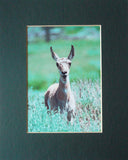 Smiling Pronghorn Fawn 8X10 Matted Photo Yellowstone Wildlife Humorous