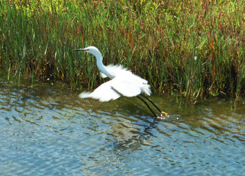 Snowy Egret 8X10 Matted Photo Birds Wildlife Bolsa Chica